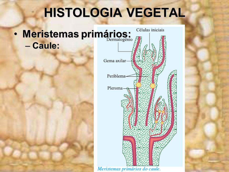 HISTOLOGIA VEGETAL Meristemas primários: Caule: