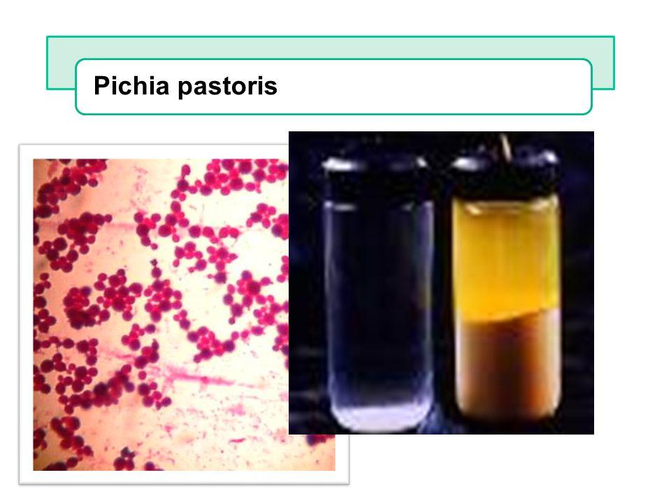 Pichia pastoris