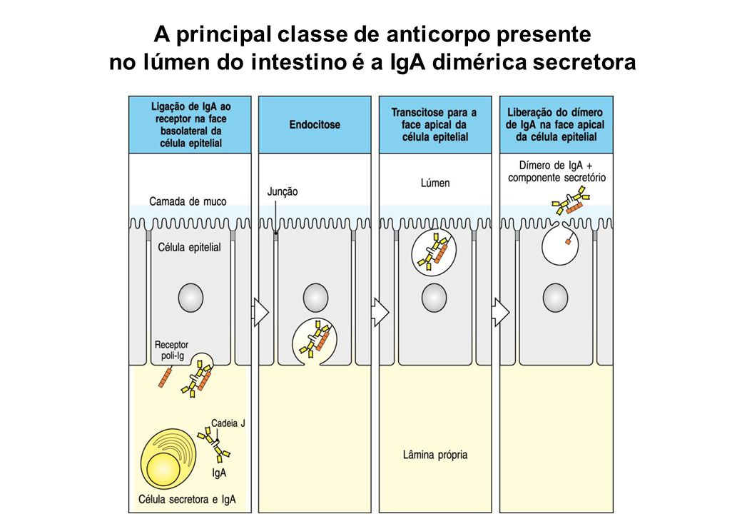 A principal classe de anticorpo presente no lúmen do intestino é a IgA dimérica secretora