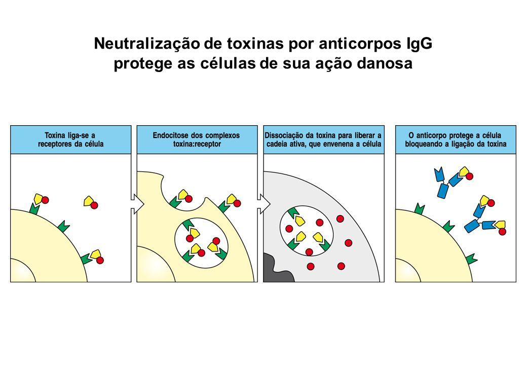Neutralização de toxinas por anticorpos IgG protege as células de sua ação danosa