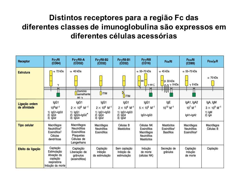 Distintos receptores para a região Fc das diferentes classes de imunoglobulina são expressos em diferentes células acessórias