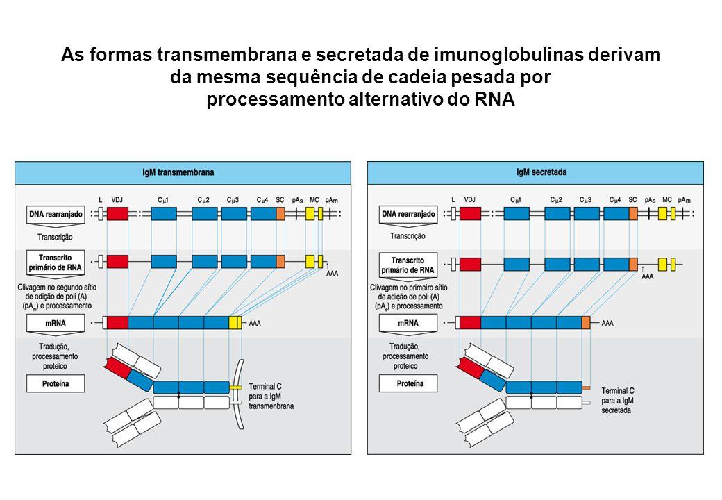 As formas transmembrana e secretada de imunoglobulinas derivam da mesma sequência de cadeia pesada por processamento alternativo do RNA