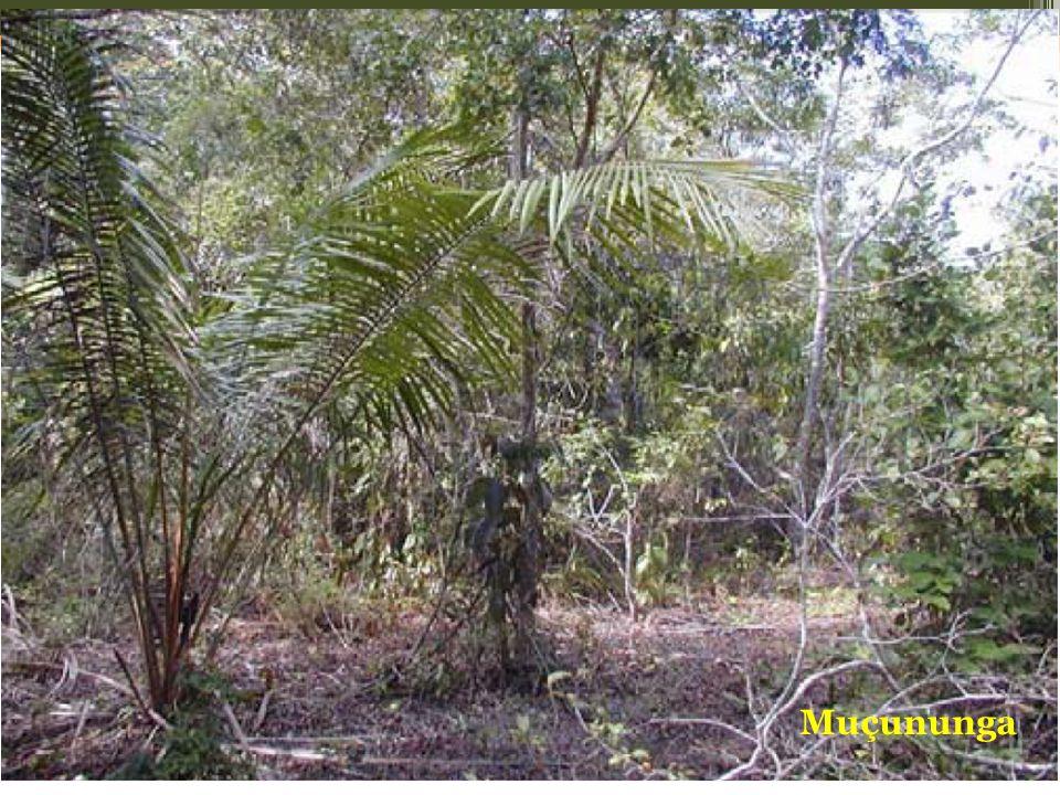 Sobre as manchas de solo arenosos com camada laterítica a cerca de 1 ou 2 m, está a vegetação de Muçununga, cuja fitofisionomia varia muito, desde as campestres até as florestais (SIMONELLI, 1998; MEIRA NETO et al., 2005). Este solo tem sua formação no Quaternário recente e é resultante do acumulo fluvio-marinho, devido à barragem dos cursos d'água, gerando o alagamento nas depressões rasas e, posteriormente, formando de lagoas pantanosas. Em seguida, o assoreamento formou uma camada laterítica impermeável e a abertura de novos canais de drenagem permitiu que o local fosse colonizado por espécies arbustivo-arbóreas (IBGE, 1987).