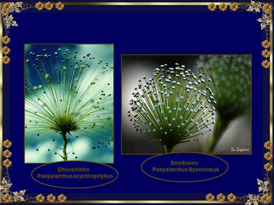 Paepalanthus Spenciosus Paepalanthus acanthophyllus