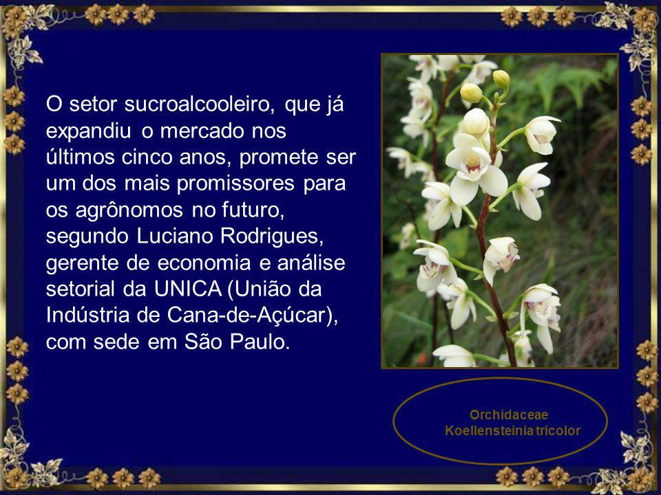 Koellensteinia tricolor