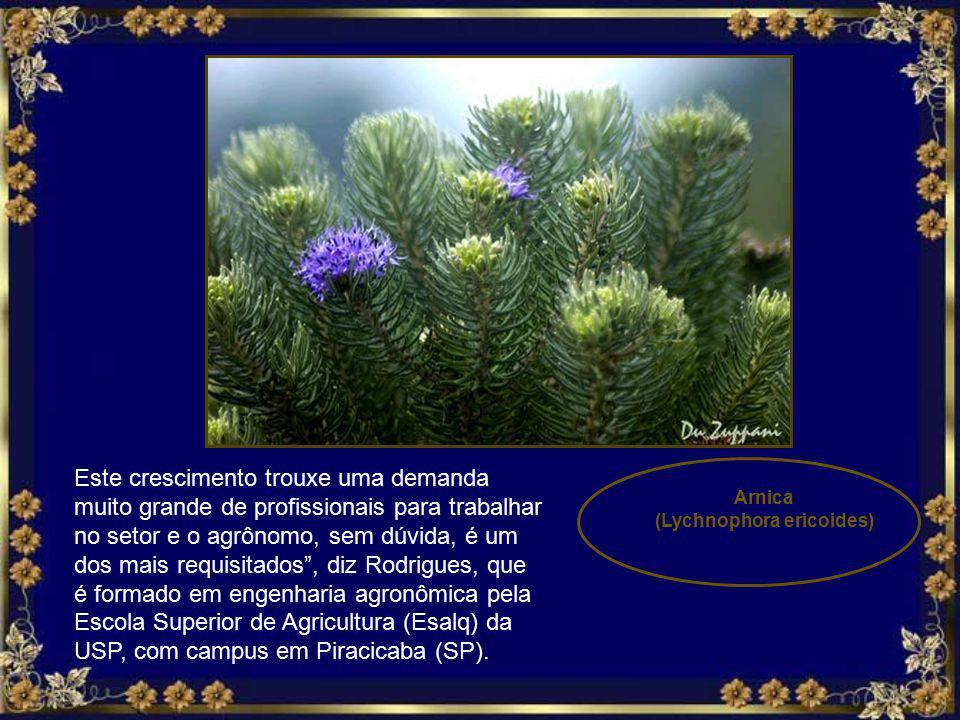 (Lychnophora ericoides)