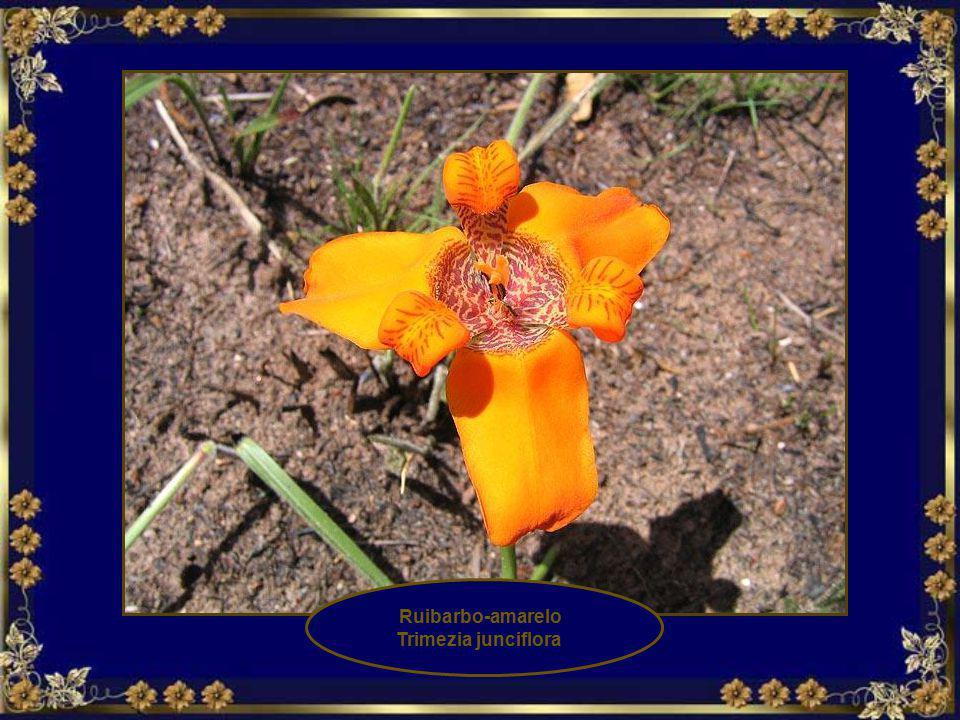 Ruibarbo-amarelo Trimezia junciflora