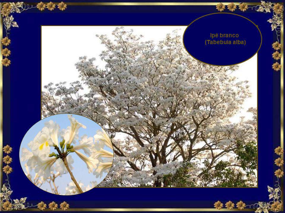 Ipê branco (Tabebuia alba)
