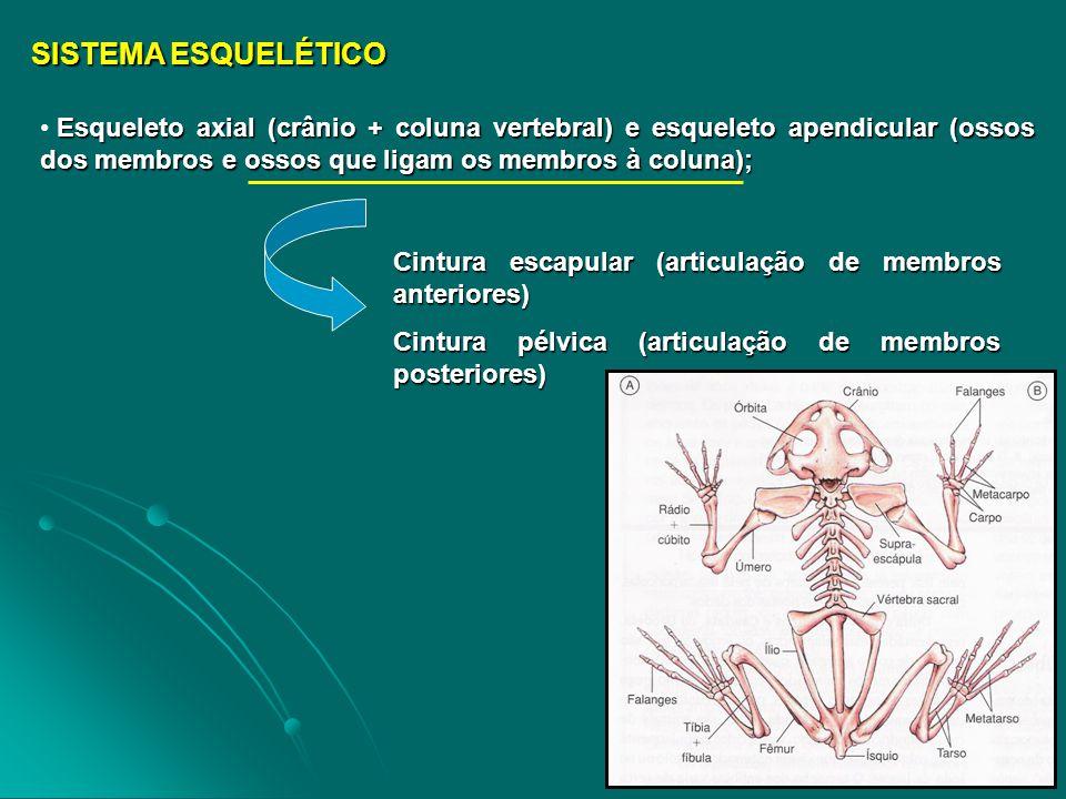 SISTEMA ESQUELÉTICO Esqueleto axial (crânio + coluna vertebral) e esqueleto apendicular (ossos dos membros e ossos que ligam os membros à coluna);