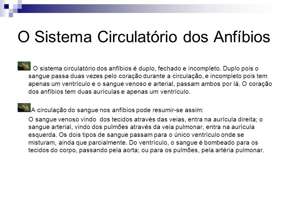 O Sistema Circulatório dos Anfíbios
