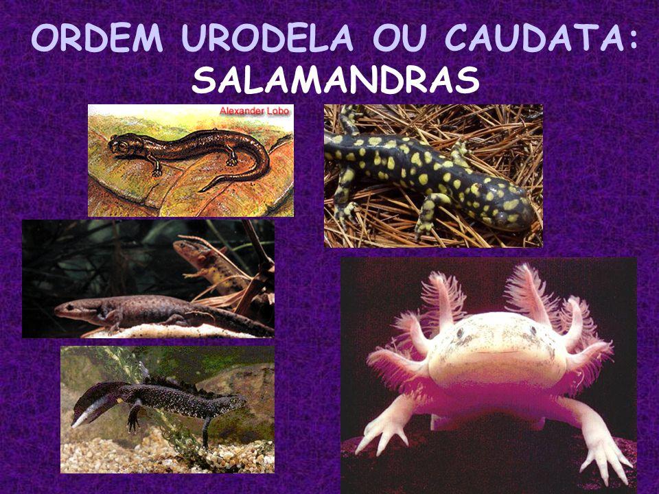 ORDEM URODELA OU CAUDATA: SALAMANDRAS