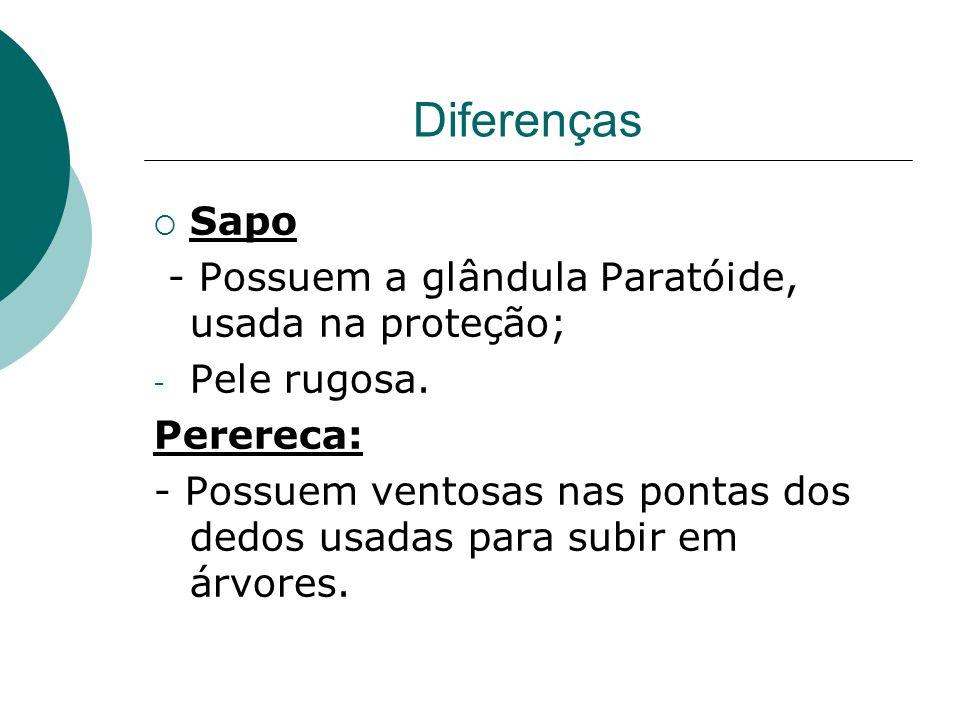 Diferenças Sapo - Possuem a glândula Paratóide, usada na proteção;