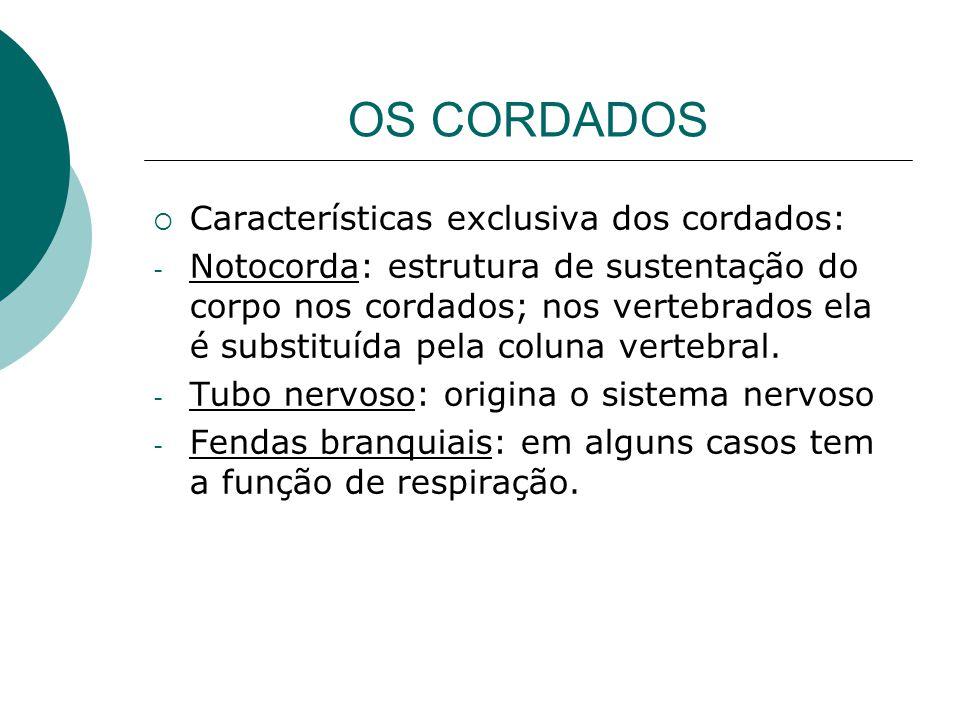 OS CORDADOS Características exclusiva dos cordados: