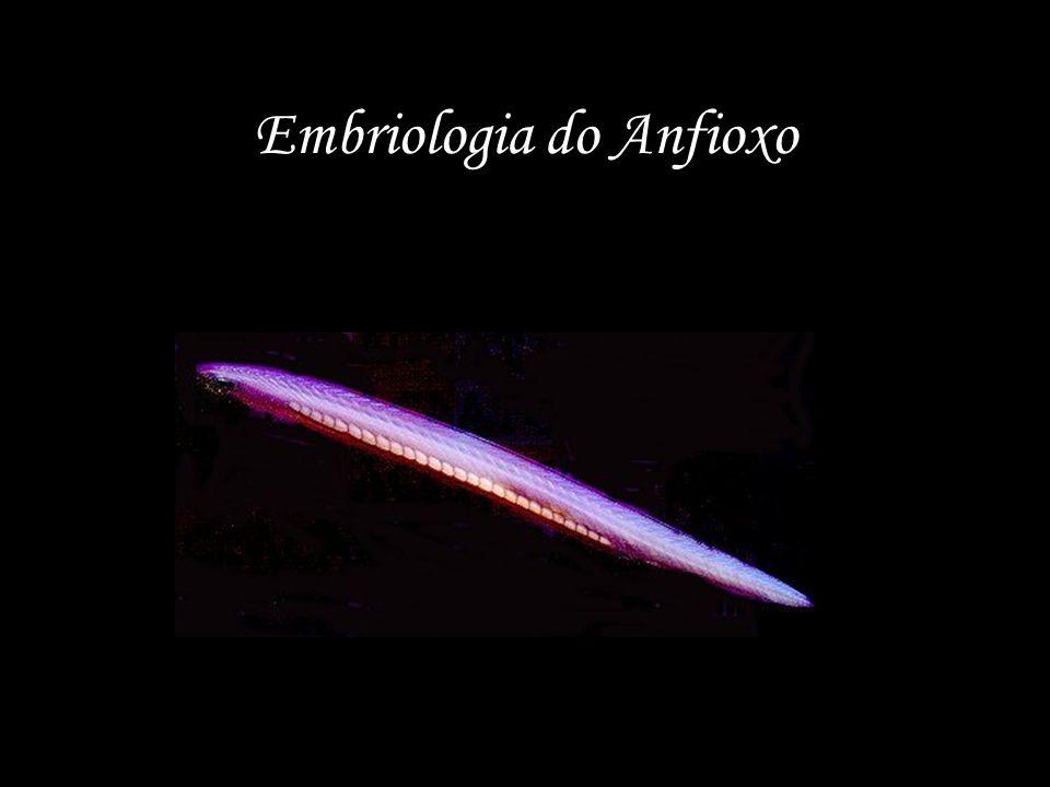 Embriologia do Anfioxo