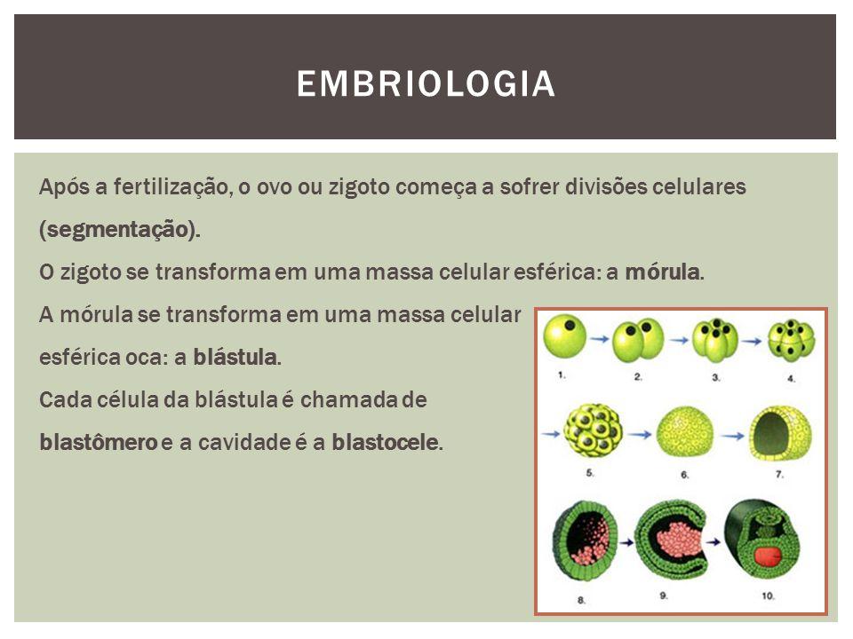 EMBRIOLOGIA Após a fertilização, o ovo ou zigoto começa a sofrer divisões celulares (segmentação).