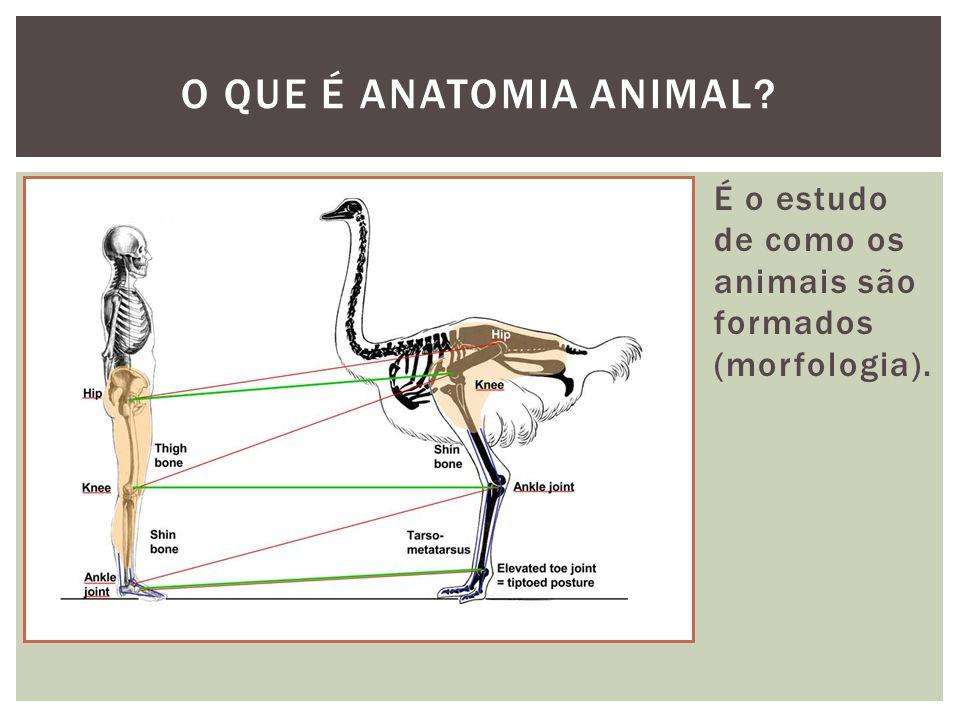 O QUE É ANATOMIA ANIMAL É o estudo de como os animais são formados (morfologia).