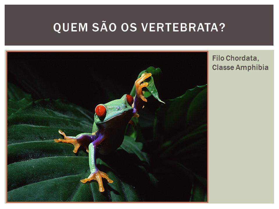 QUEM SÃO OS VERTEBRATA Filo Chordata, Classe Amphibia