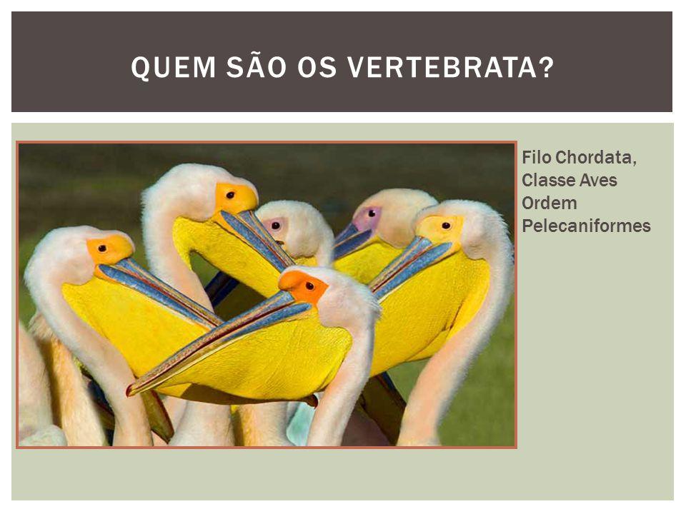 QUEM SÃO OS VERTEBRATA Filo Chordata, Classe Aves