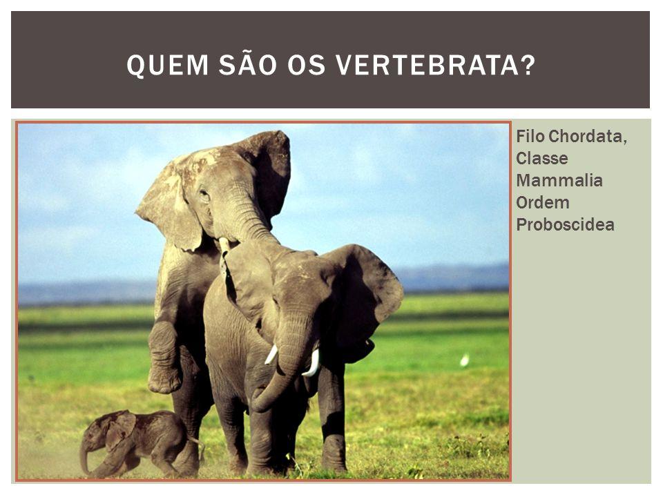 QUEM SÃO OS VERTEBRATA Filo Chordata, Classe Mammalia