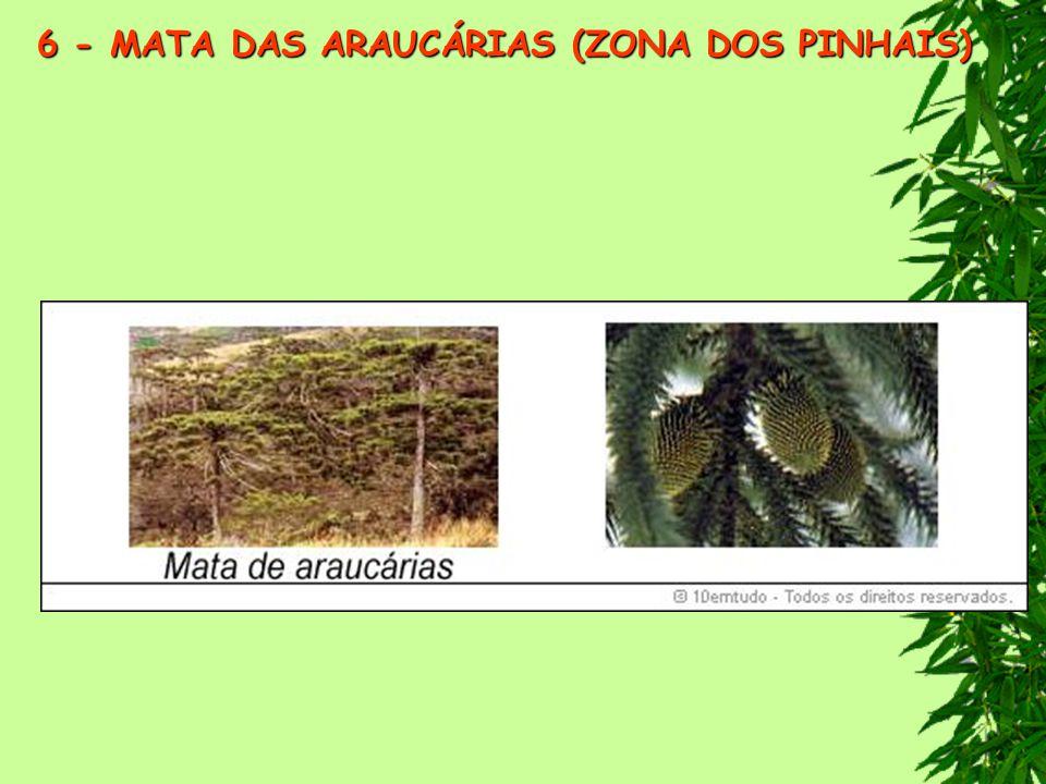 6 - MATA DAS ARAUCÁRIAS (ZONA DOS PINHAIS)