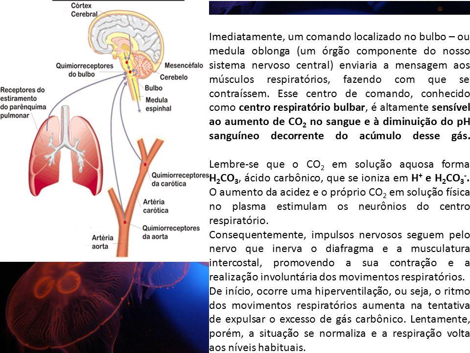 Imediatamente, um comando localizado no bulbo – ou medula oblonga (um órgão componente do nosso sistema nervoso central) enviaria a mensagem aos músculos respiratórios, fazendo com que se contraíssem. Esse centro de comando, conhecido como centro respiratório bulbar, é altamente sensível ao aumento de CO2 no sangue e à diminuição do pH sanguíneo decorrente do acúmulo desse gás.