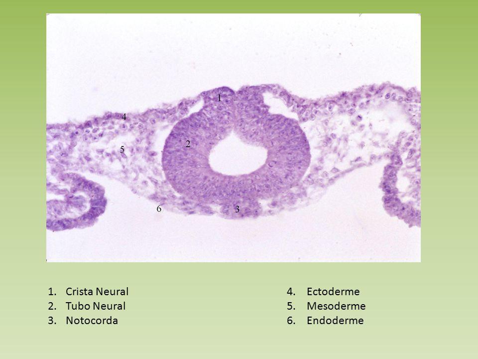 Crista Neural 4. Ectoderme