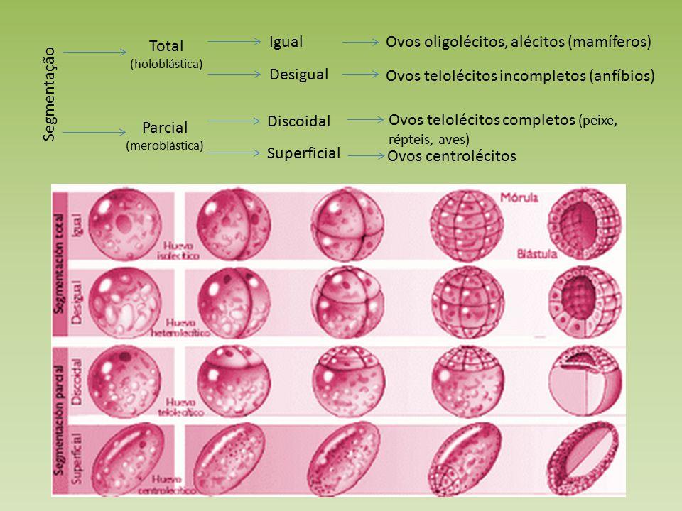 Ovos oligolécitos, alécitos (mamíferos) Total