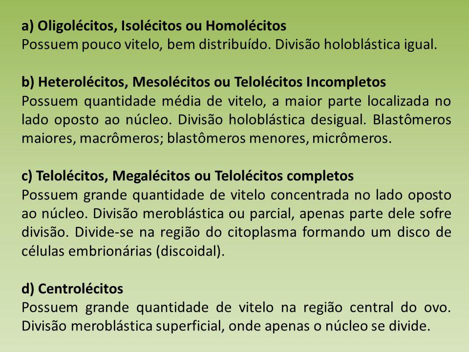 a) Oligolécitos, Isolécitos ou Homolécitos