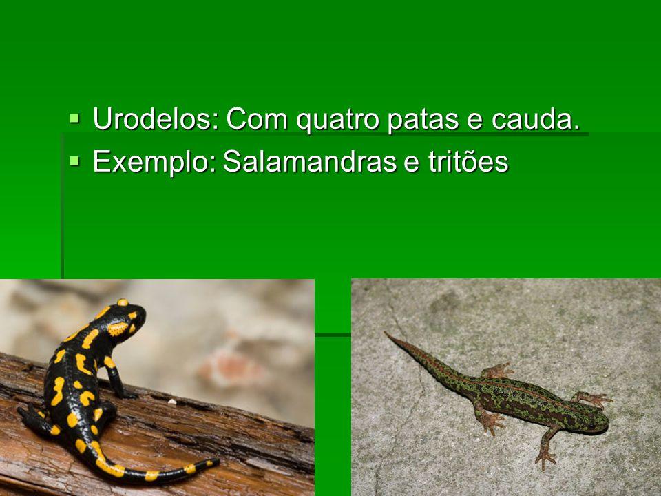 Urodelos: Com quatro patas e cauda.