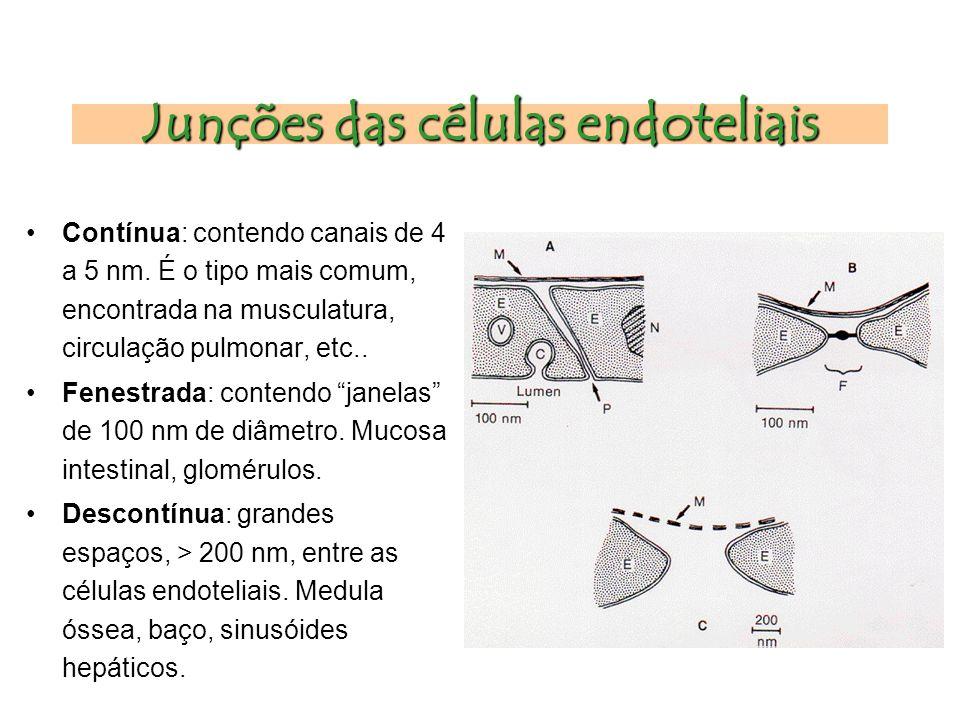 Junções das células endoteliais