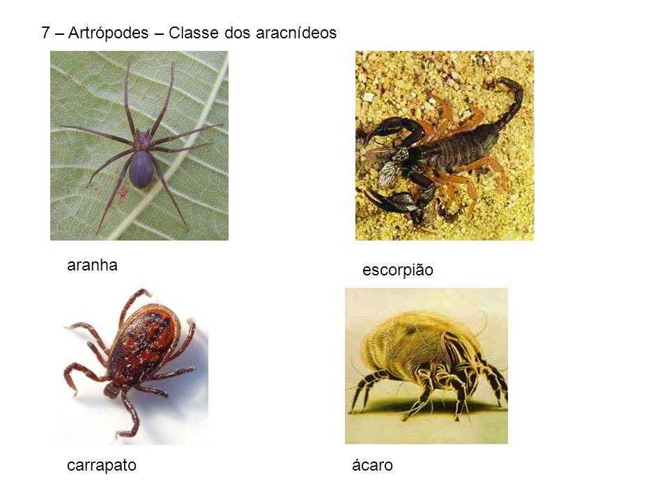 7 – Artrópodes – Classe dos aracnídeos