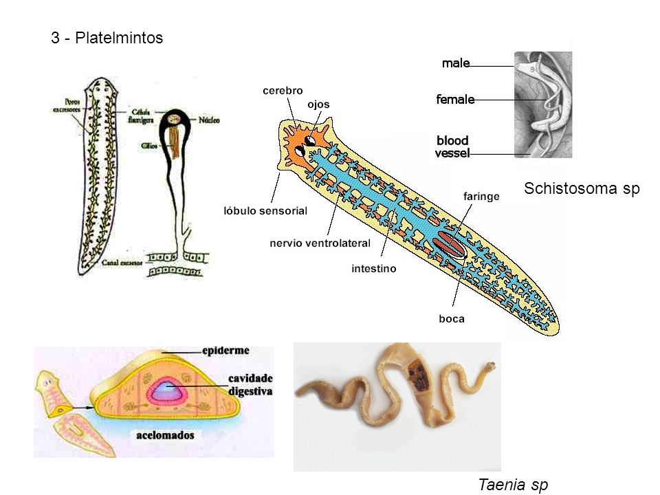 3 - Platelmintos Schistosoma sp Taenia sp