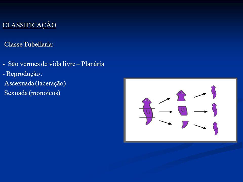 CLASSIFICAÇÃO Classe Tubellaria: - São vermes de vida livre – Planária - Reprodução : Assexuada (laceração) Sexuada (monoicos)