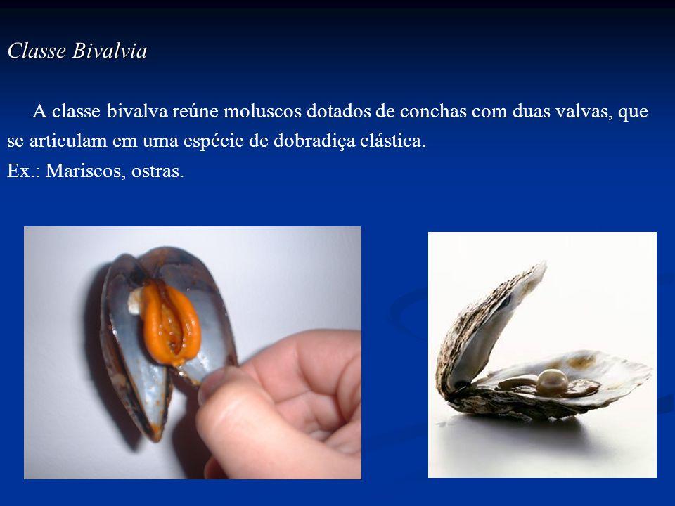 Classe Bivalvia A classe bivalva reúne moluscos dotados de conchas com duas valvas, que. se articulam em uma espécie de dobradiça elástica.