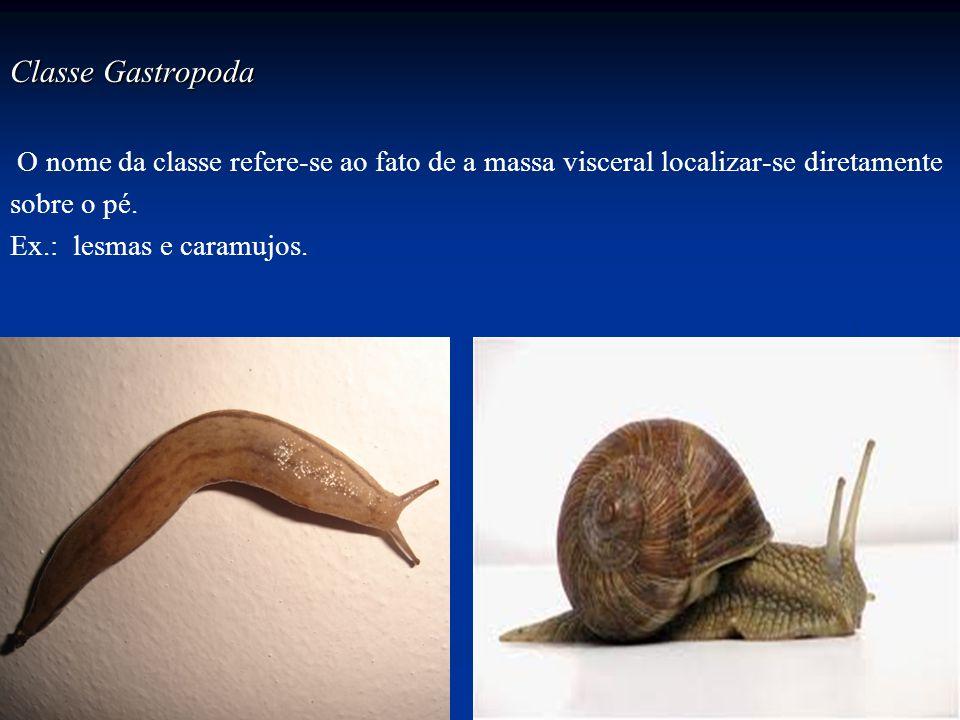 Classe Gastropoda O nome da classe refere-se ao fato de a massa visceral localizar-se diretamente. sobre o pé.