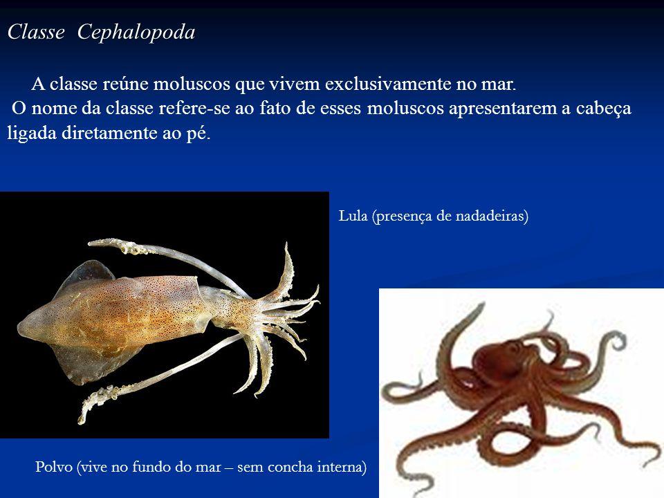 Classe Cephalopoda A classe reúne moluscos que vivem exclusivamente no mar.