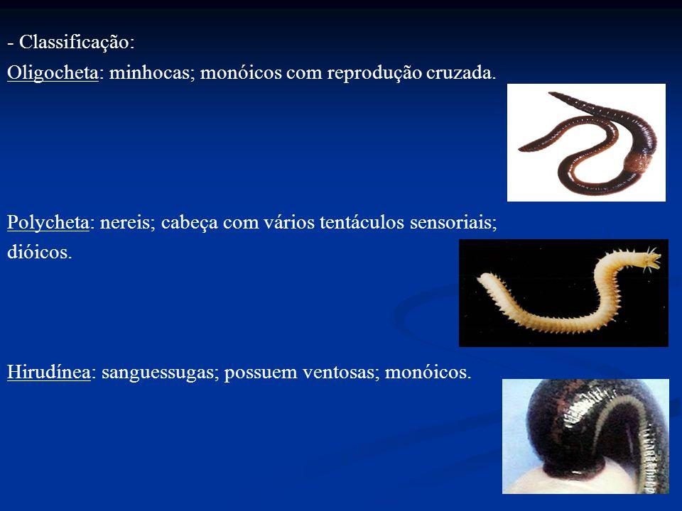 - Classificação: Oligocheta: minhocas; monóicos com reprodução cruzada. Polycheta: nereis; cabeça com vários tentáculos sensoriais;