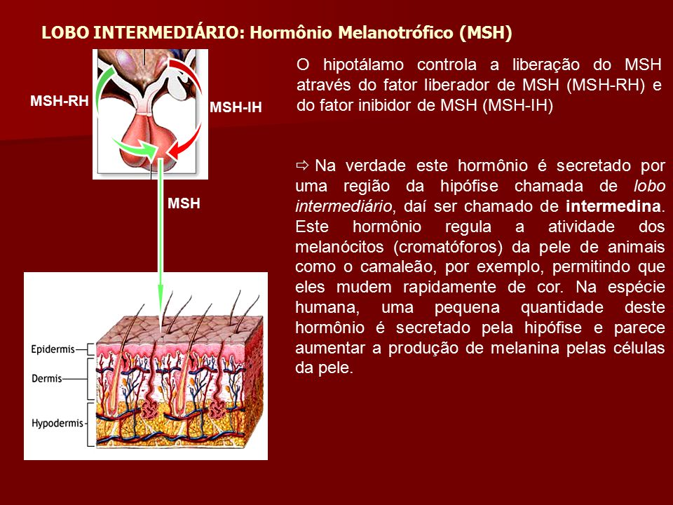 LOBO INTERMEDIÁRIO: Hormônio Melanotrófico (MSH)