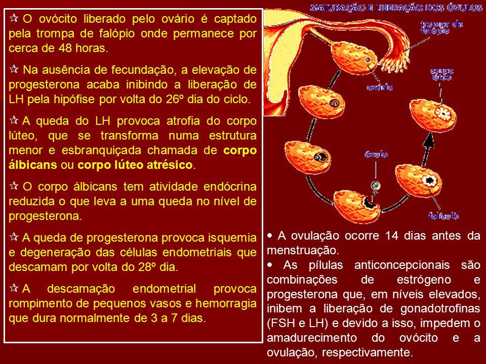 O ovócito liberado pelo ovário é captado pela trompa de falópio onde permanece por cerca de 48 horas.