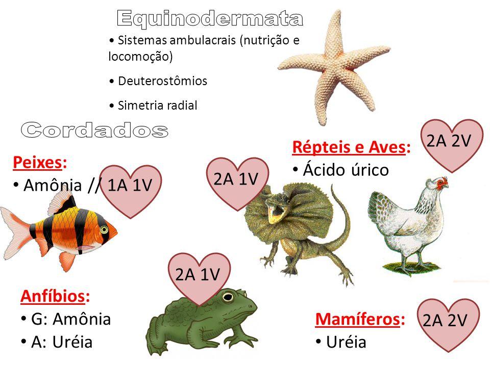 Equinodermata Cordados 2A 2V Répteis e Aves: Ácido úrico Peixes: