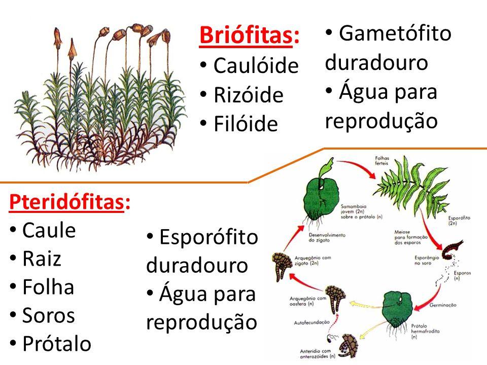Briófitas: Gametófito duradouro Caulóide Água para reprodução Rizóide