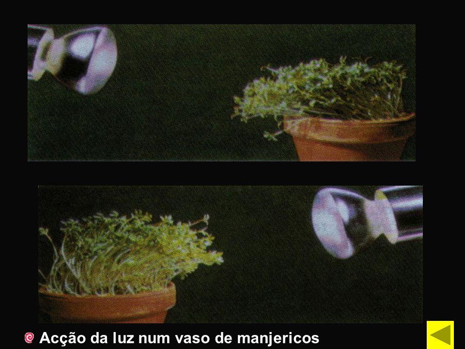 Acção da luz num vaso de manjericos