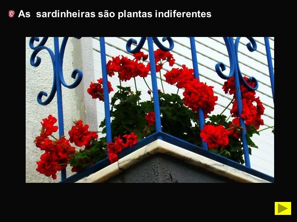 As sardinheiras são plantas indiferentes