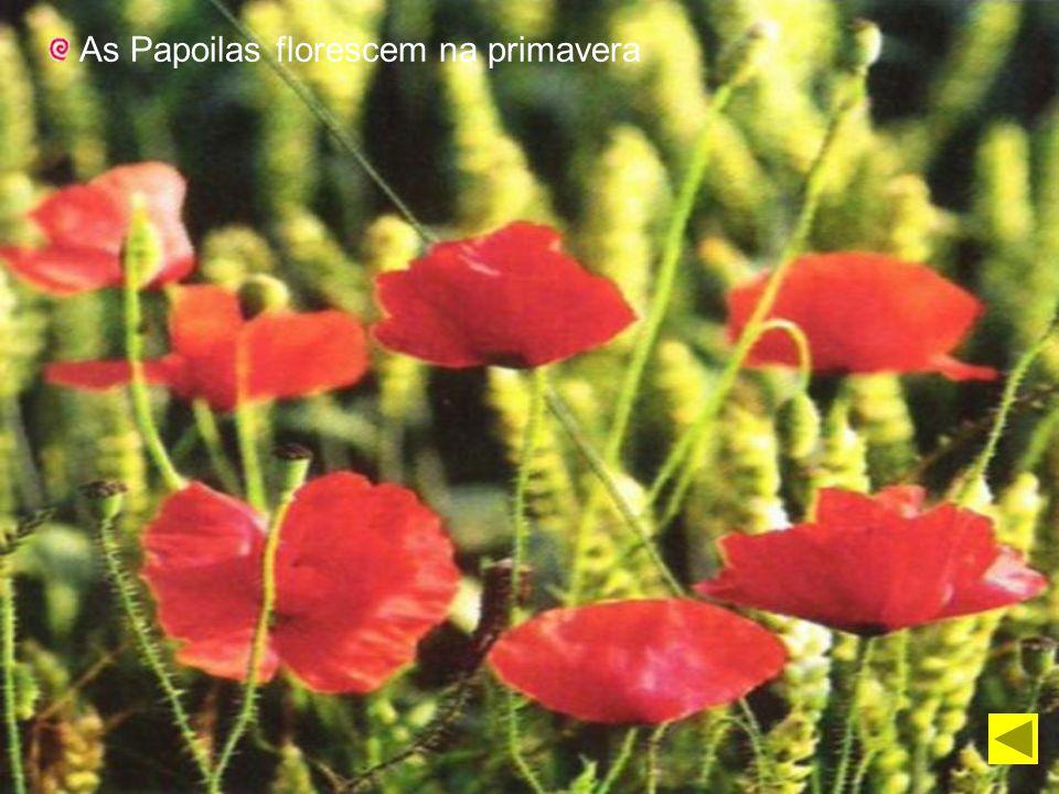 As Papoilas florescem na primavera