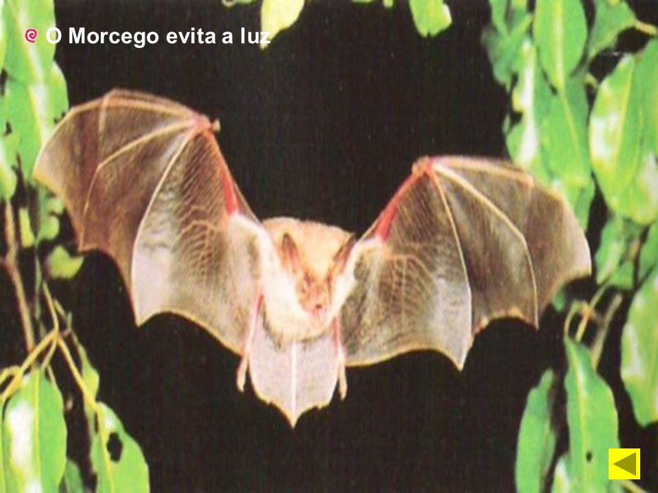 O Morcego evita a luz