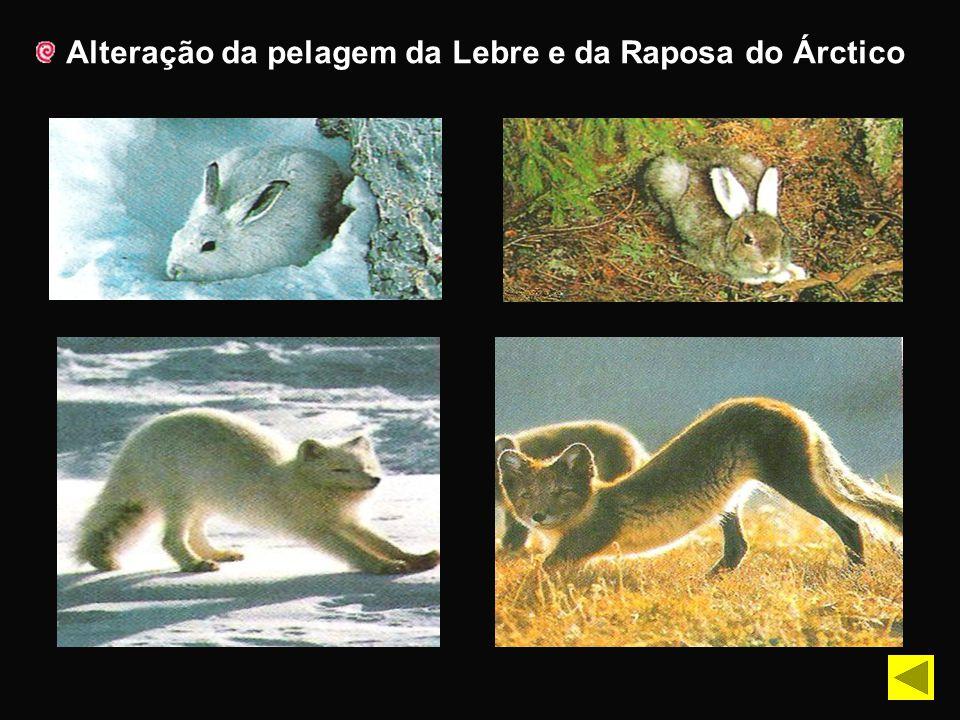 Alteração da pelagem da Lebre e da Raposa do Árctico