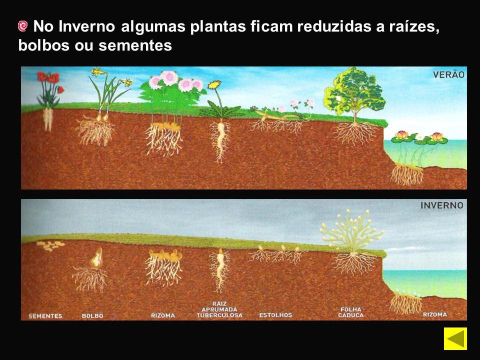 No Inverno algumas plantas ficam reduzidas a raízes, bolbos ou sementes