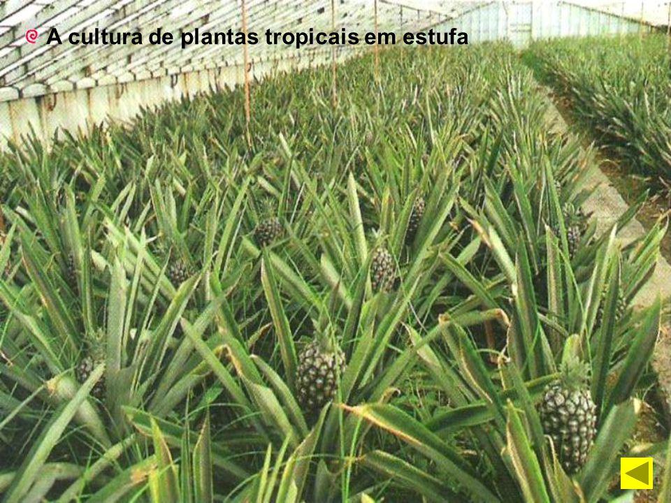 A cultura de plantas tropicais em estufa