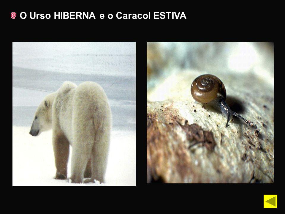 O Urso HIBERNA e o Caracol ESTIVA