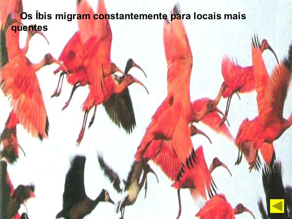 Os Íbis migram constantemente para locais mais quentes